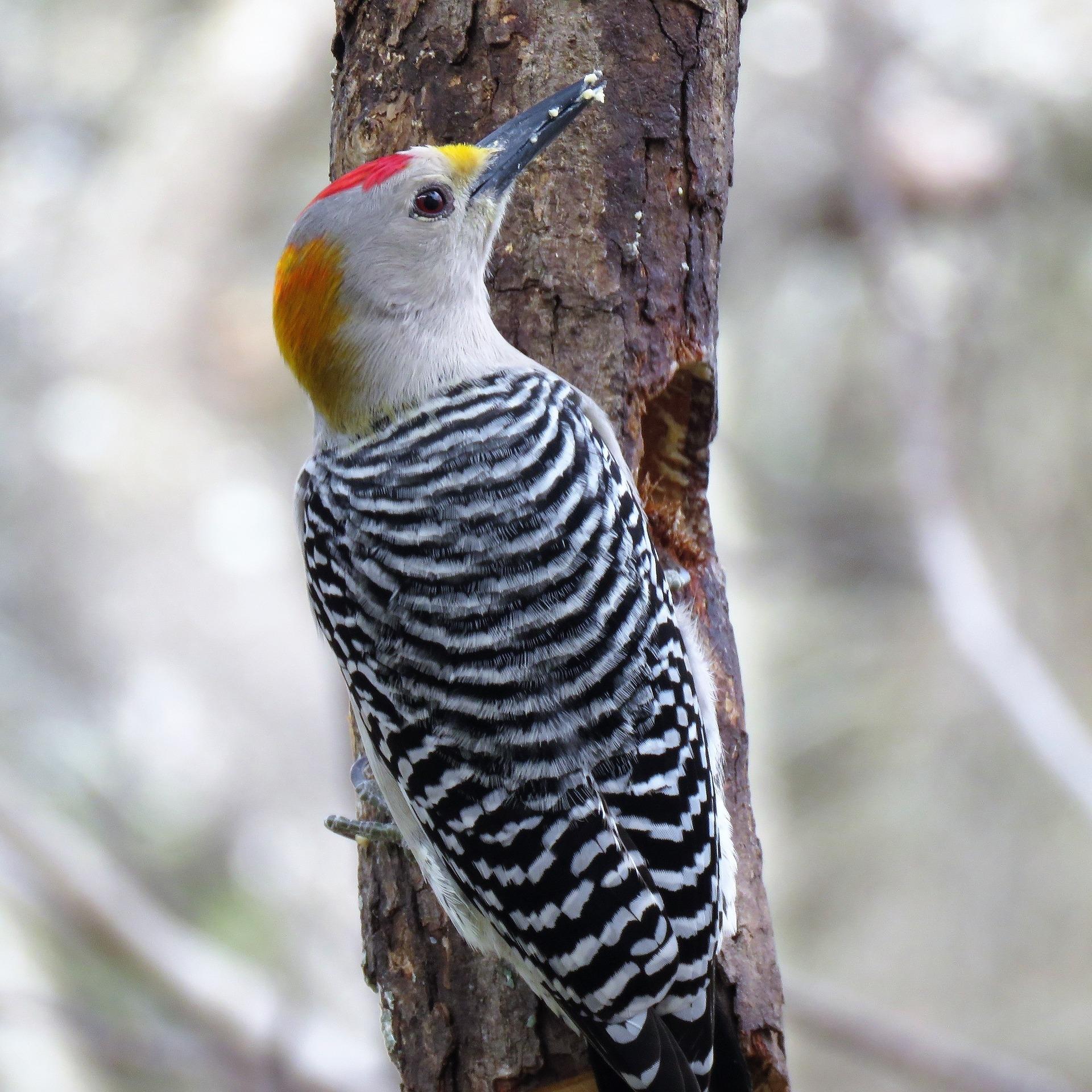 woodpecker-3137599_1920.jpg